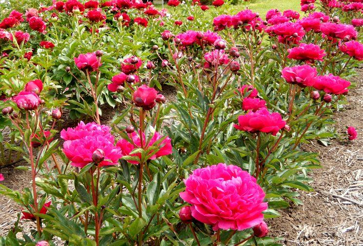Пион выращивание и уход за цветами