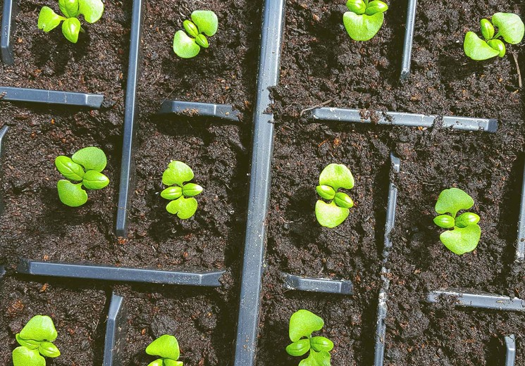 Выращиваем базилик из семян
