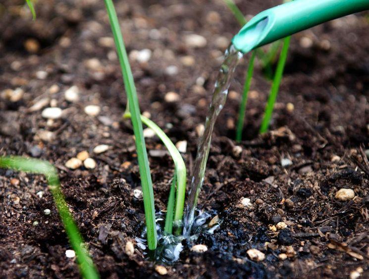 Как сажать и сеять лук
