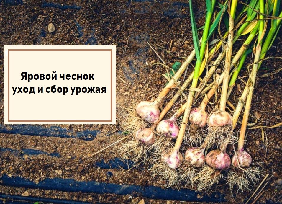 Яровой чеснок - как выращивать