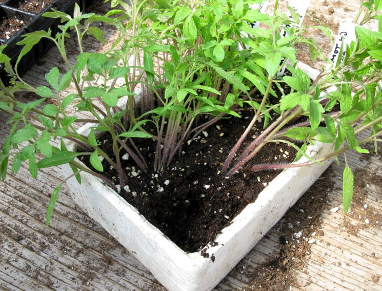 Зачем подкармливать рассаду томатов