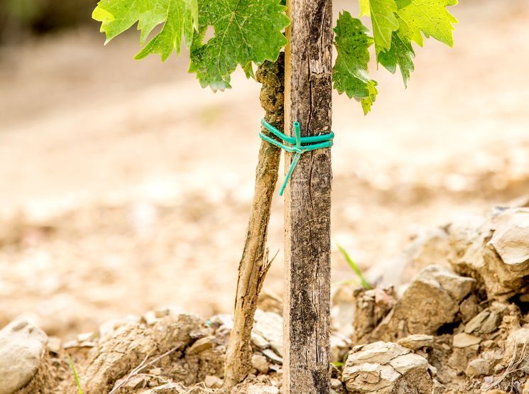 Посадка винограда и последующий уход за ним
